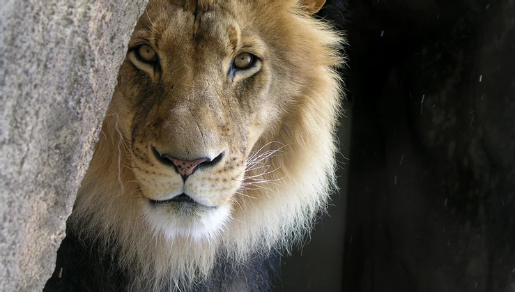 The 'Cowardly' Lion – A Lesson on Bravery