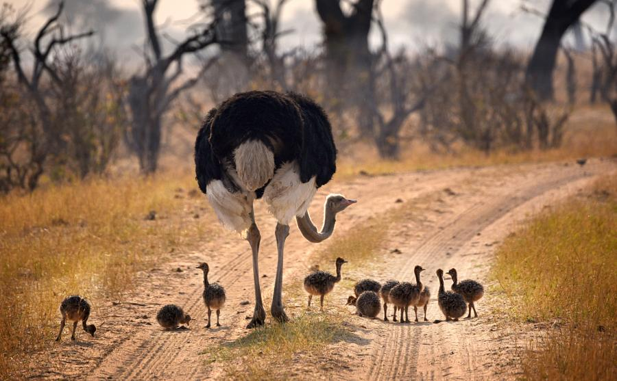 Mother ostrich with 11 chicks.