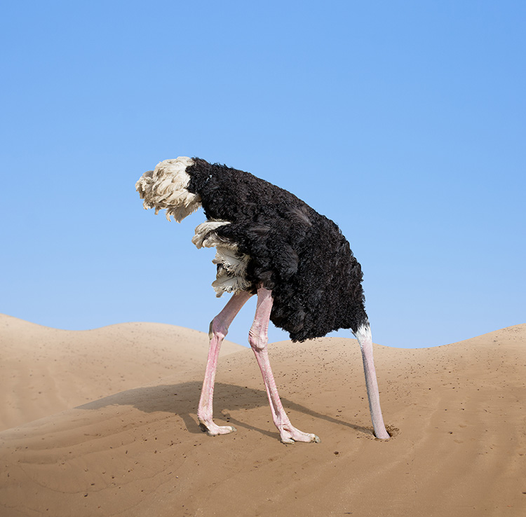 Ostrich with head in the sand.